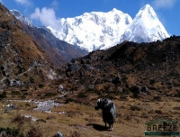 Yak on the way/ Kanchenjunga North Base Camp Trek