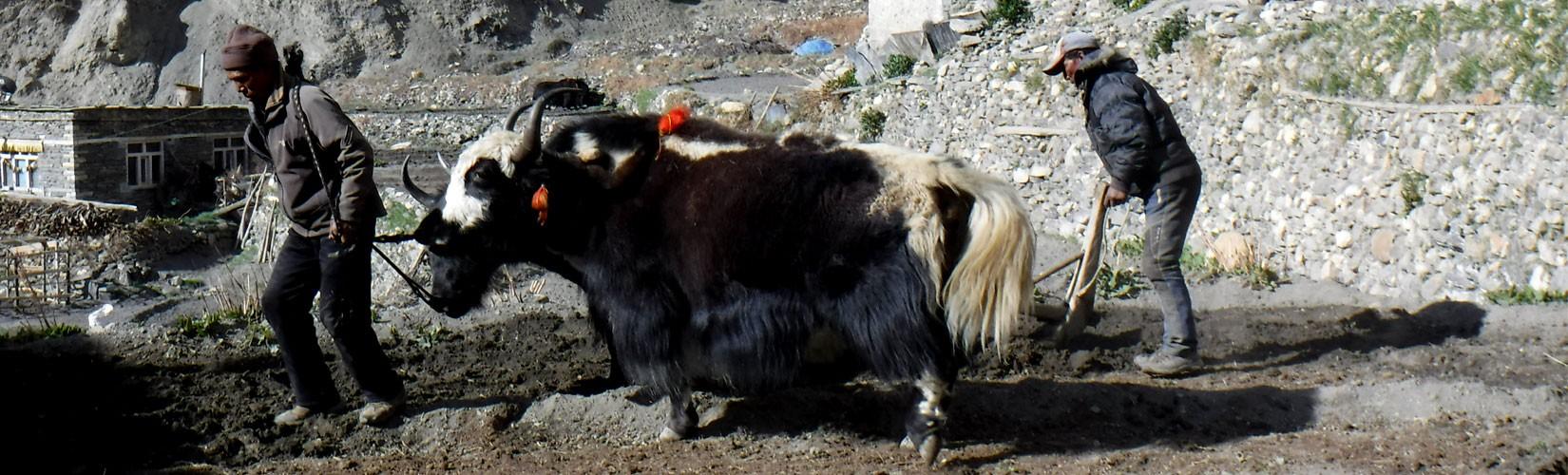 Ploughing Yak in Nepal